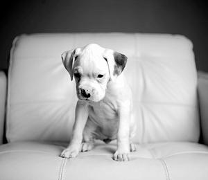 irish pride boxers boxer puppies white boxer puppies boxer puppies 300x260